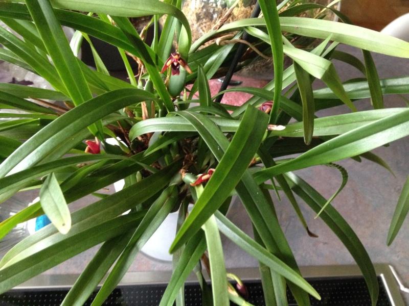 Maxillaria variabilis Maxill13