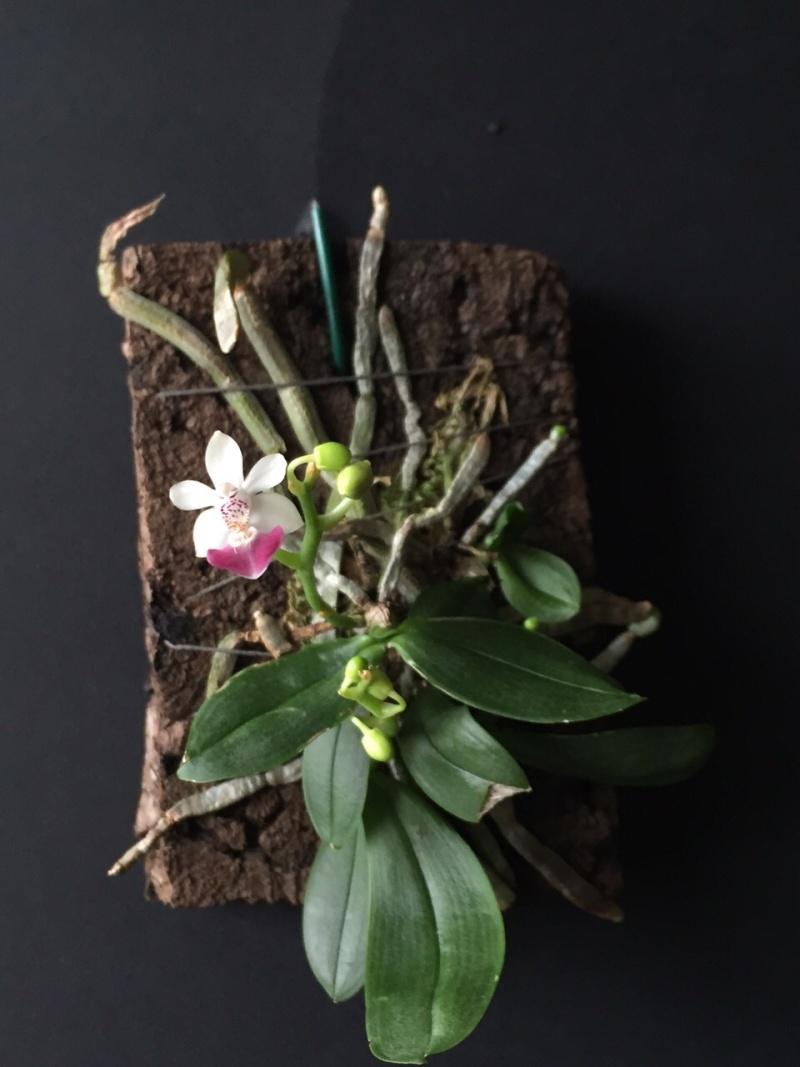 Phalaenopsis parishii Parish10