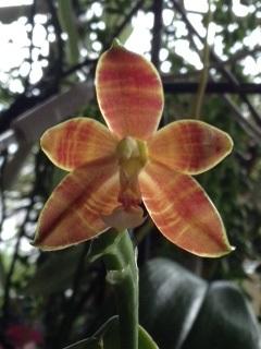 Phalaenopsis cornu cervi Chattaladae x venosa (Eiderstedt) Phal_e16