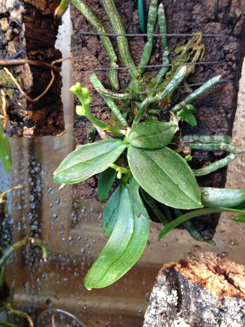 Phalaenopsis parishii Phal_p10