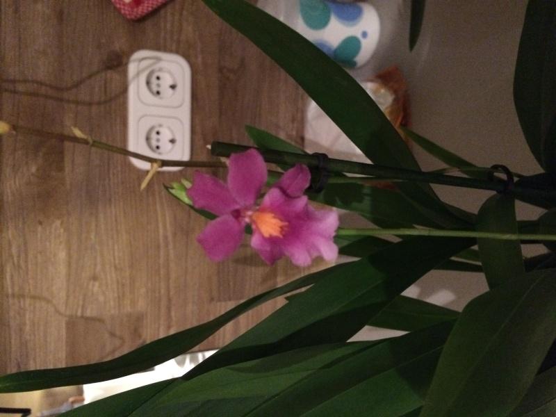 Orchidee bestimmen Img_0617