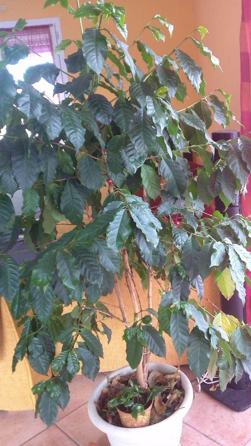 photo de mon cafeier issus de semis : 10 ans cette annee Valou_13