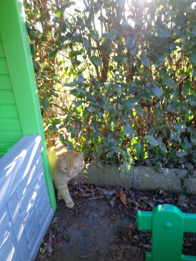 HUGO, chat européen roux, né le 01/05/2012, en sauvetage (frais d'adoption libres) Dsc03714