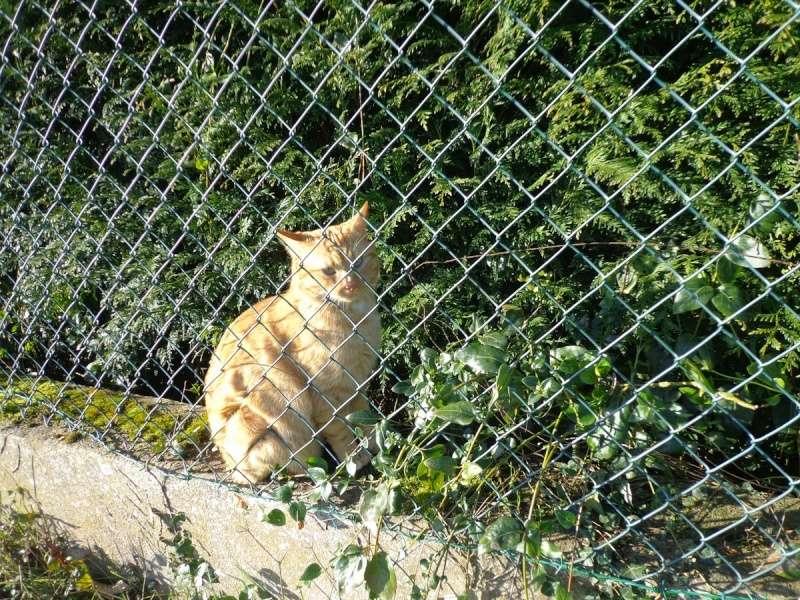 HUGO, chat européen roux, né le 01/05/2012, en sauvetage (frais d'adoption libres) Dsc03715