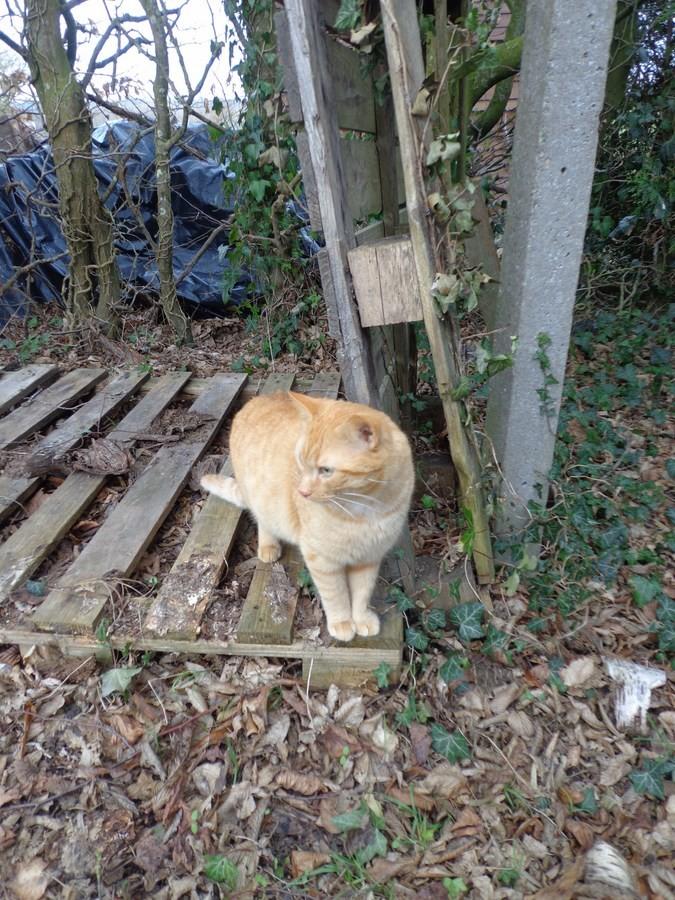 HUGO, chat européen roux, né le 01/05/2012, en sauvetage (frais d'adoption libres) Dsc03716