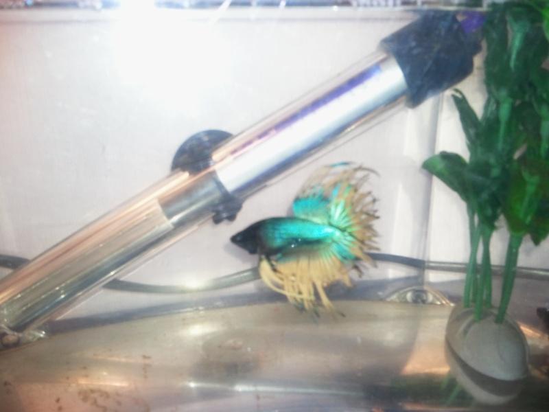 mon betta male crowtail  Photo016