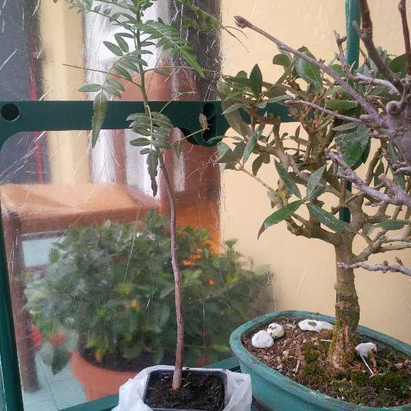 schinus molle(falso pepe) Img_2012