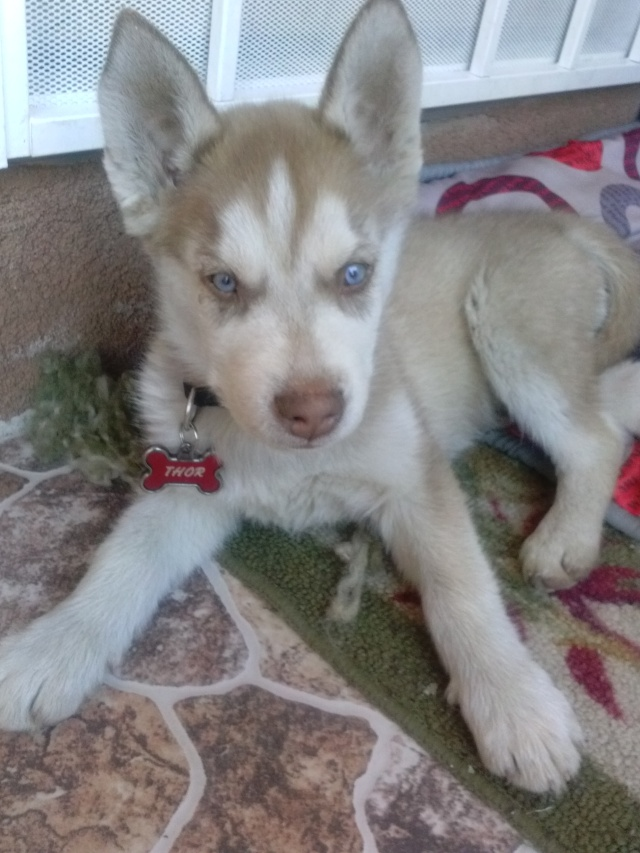 Wondering if my husky is mixed?? Cam00113