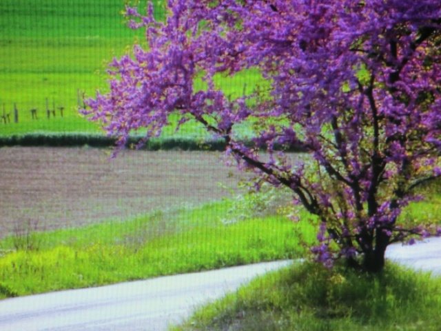 albero di giuda Img_3310