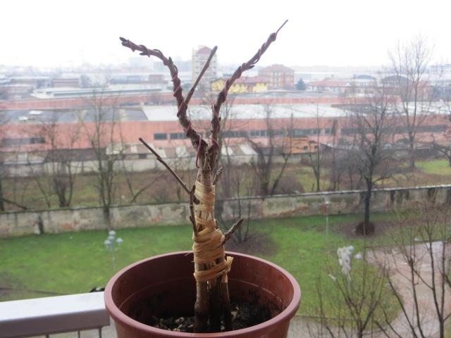 albero di giuda Img_3311