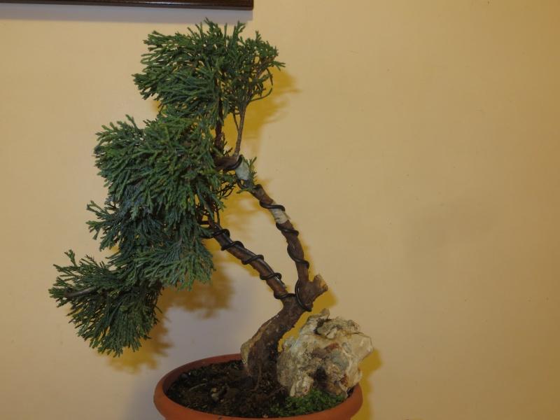 juniperus comunis da vivaio Img_3319