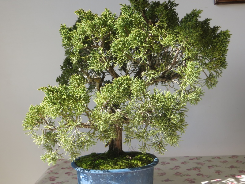 juniperus cinensis new Img_3413