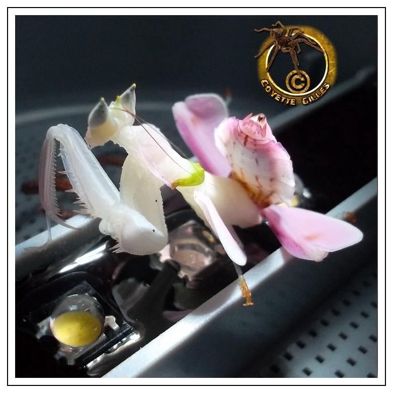 Mante orchidée (Hymenopus coronatus) 45360910