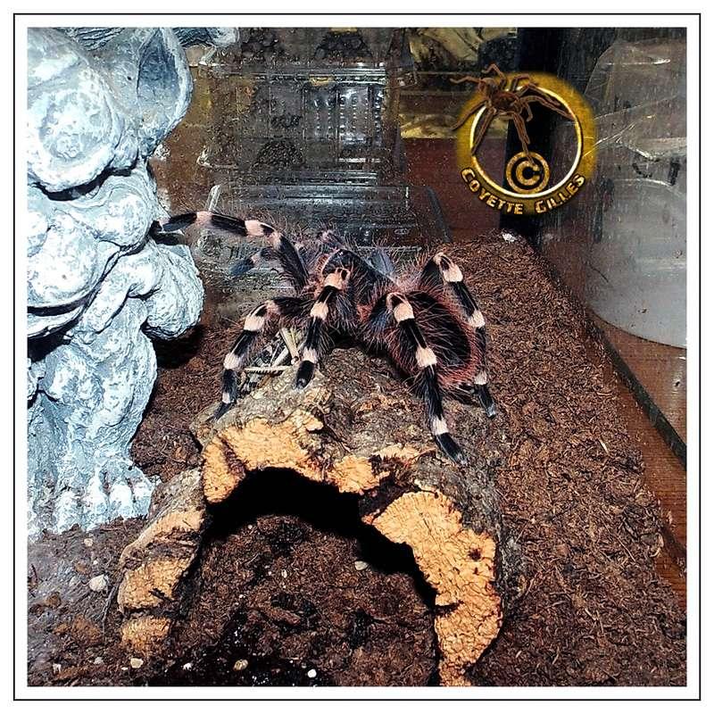 Acanthoscurria geniculata. Dsci0410