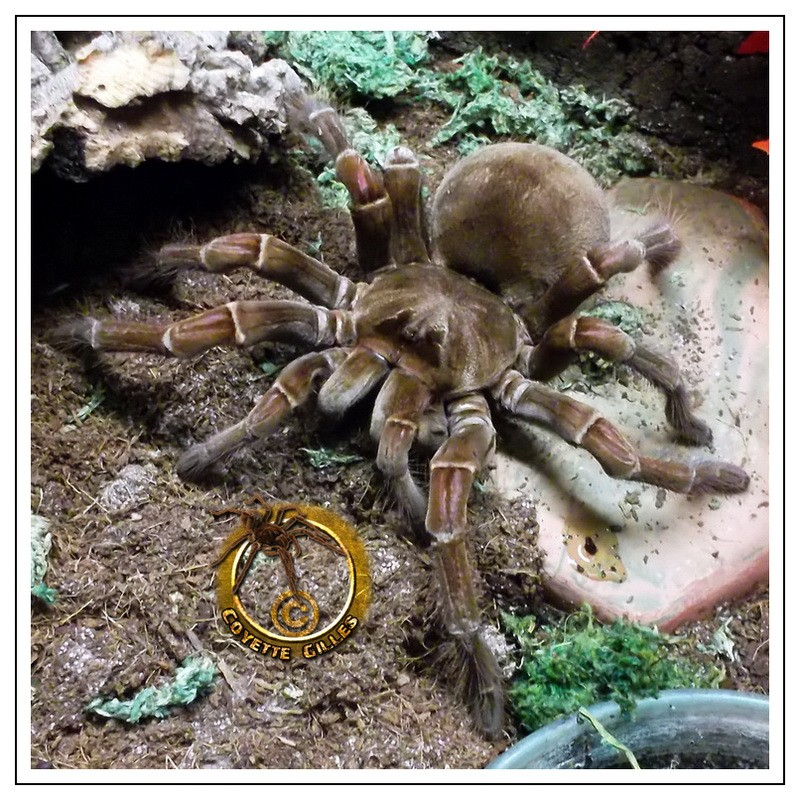 Theraphosa stirmi Stirmi11