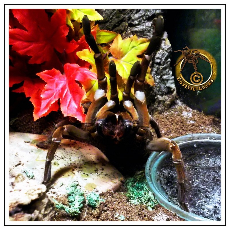 Theraphosa stirmi T_stir10