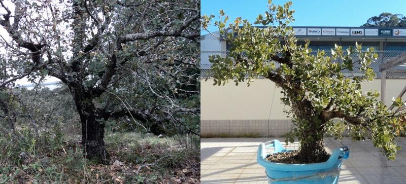 Quercus Ilex from Portugal! Dsc03910