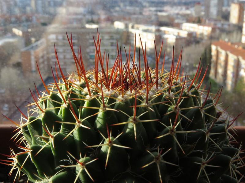 A new unidentified Mammillaria... 800_im14