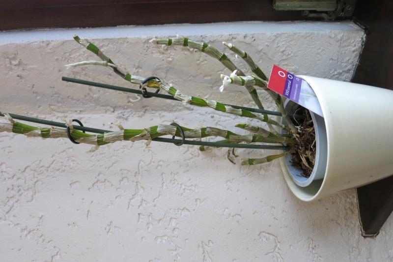 Dendrobium Nobile Img_0315