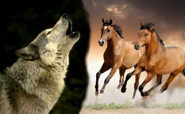 ...~♥~The Hunted~♥~A Wolf and Wild Horse RP ~♥~... 900x9019