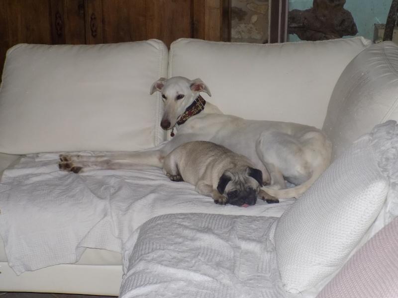 Bandolera galga blanche à l'adoption Adoptée  - Page 2 00110