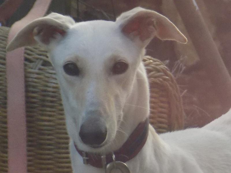Bandolera galga blanche à l'adoption Adoptée  05610