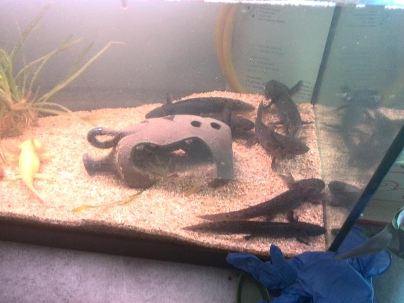 axolotls (ambystoma mexicanum) Img_2013