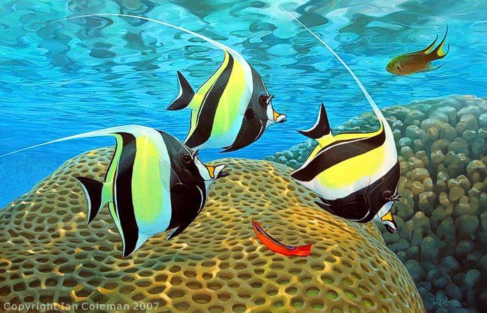 Quel est votre poisson préféré?? Zanclu10