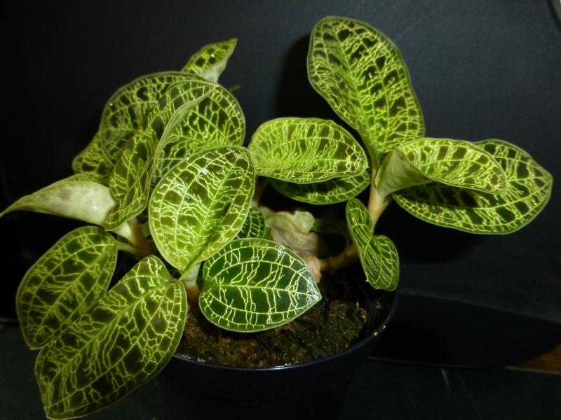 Blattjuwelen - Ludisia, Macodes, Anoectochilus, Dossinia, Goodyera und ähnliche P1080710