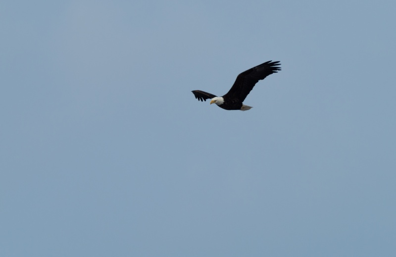 Aigle Pygargue à tête blanche. Imgp0913