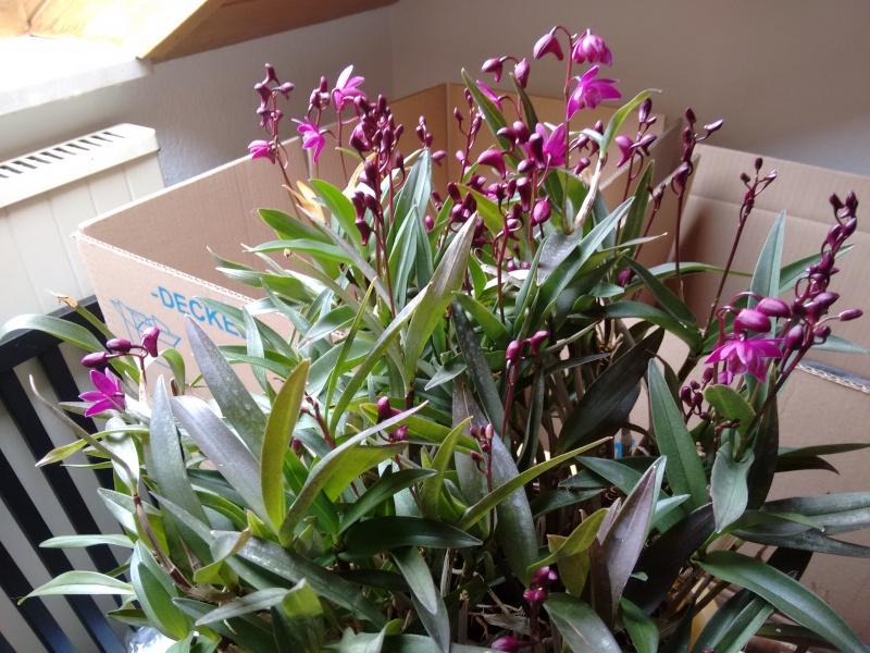 Dendrobium kingianum - Seite 3 Img_2013