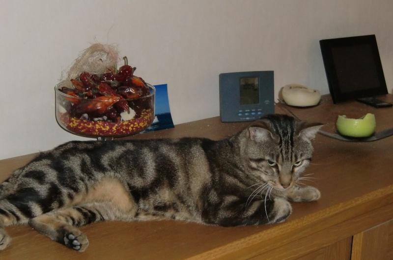 JEFF, chat européen tigré, né en 2014 Cimg3914