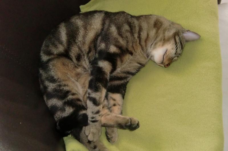 JEFF, chat européen tigré, né en 2014 Cimg3917