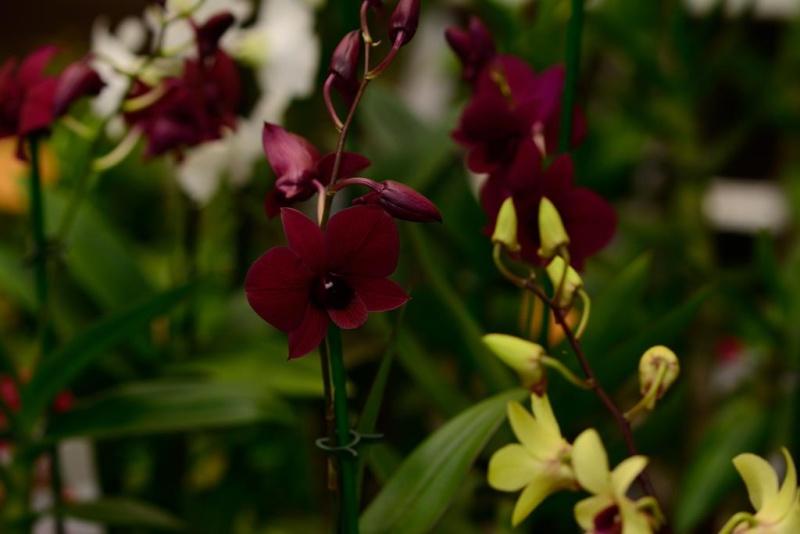 Orchideenschau Gärtnerei Möbius Dsc_1211