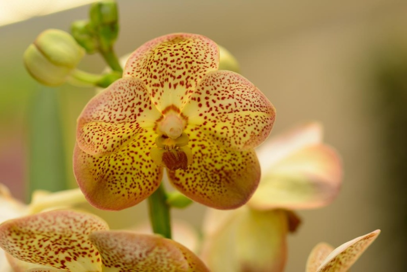 Orchideenschau Gärtnerei Möbius Dsc_1212