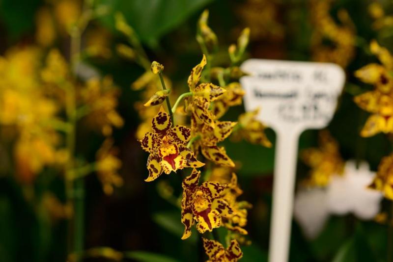 Orchideenschau Gärtnerei Möbius Dsc_1214