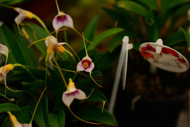 Orchideenschau Gärtnerei Möbius Dsc_1215