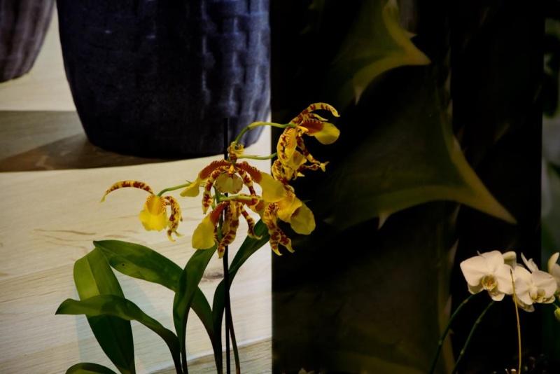 Orchideen auf der IPM Dsc_1314