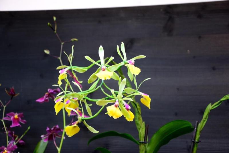 Orchideen auf der IPM Dsc_1412