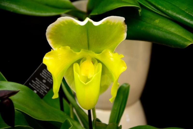 Orchideen auf der IPM Dsc_1414