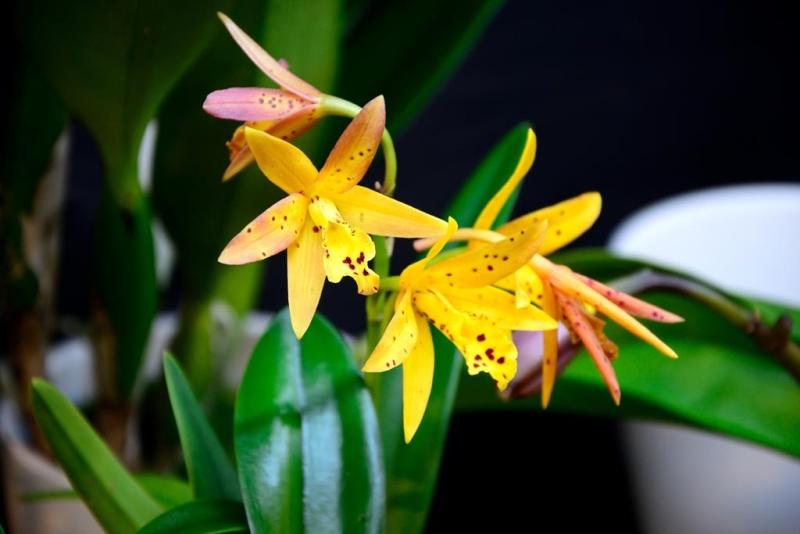Orchideen auf der IPM Dsc_1415