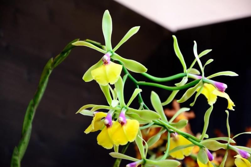 Orchideen auf der IPM Dsc_1418