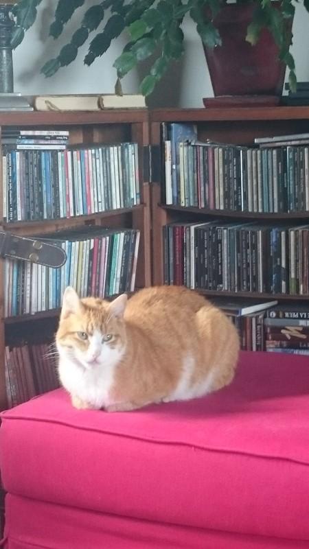 Hemingway, mâle roux et blanc né le 29/07/2012, en don libre Heming13