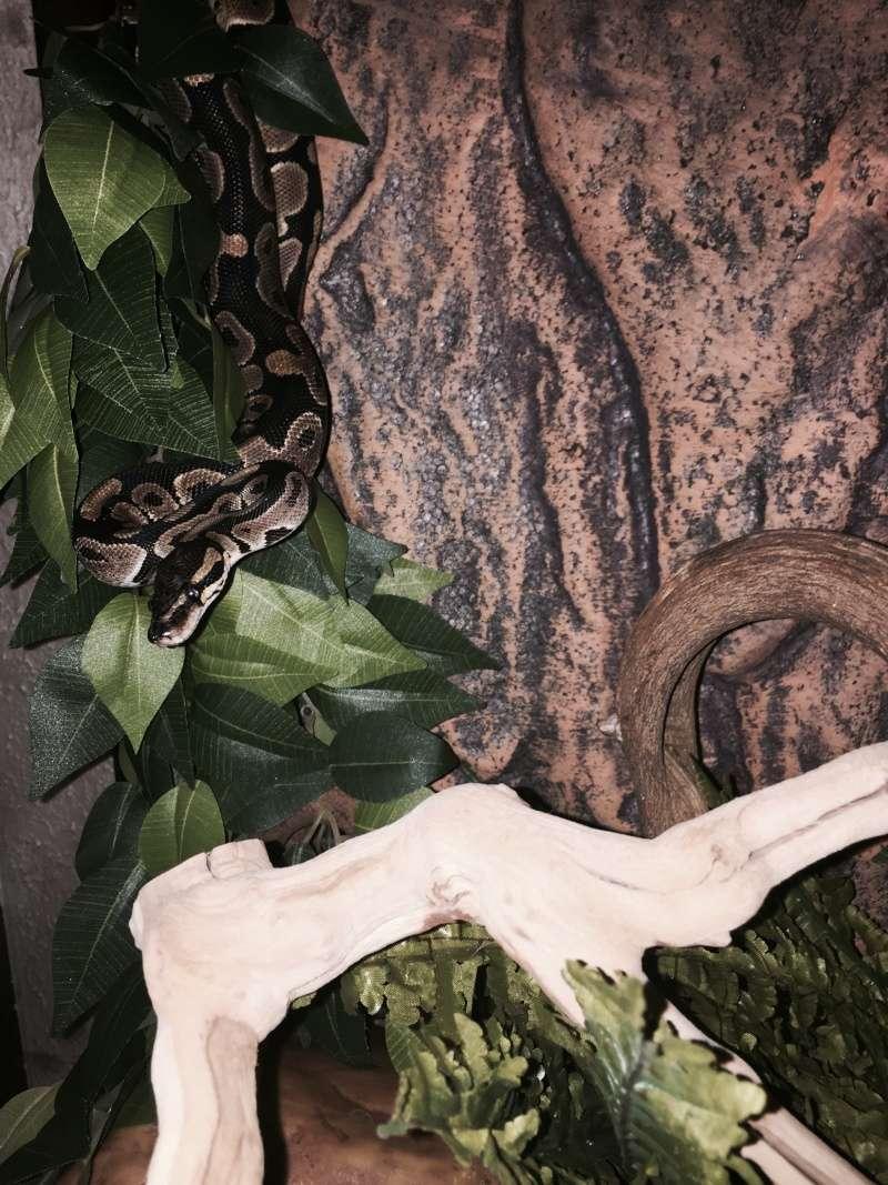 Olympe ma python juvénile. Pyhon10