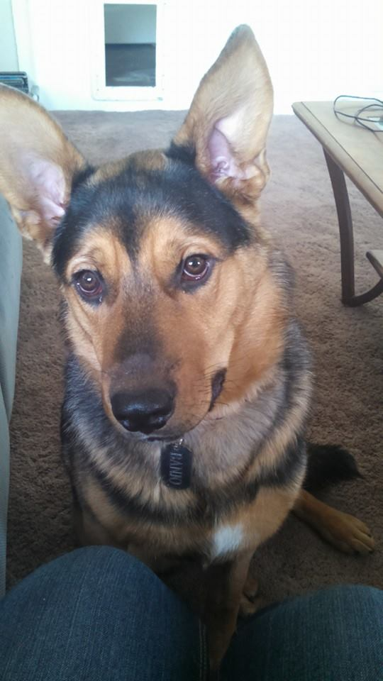 Rottweiler-German Shepherd...and Husky? 10464111