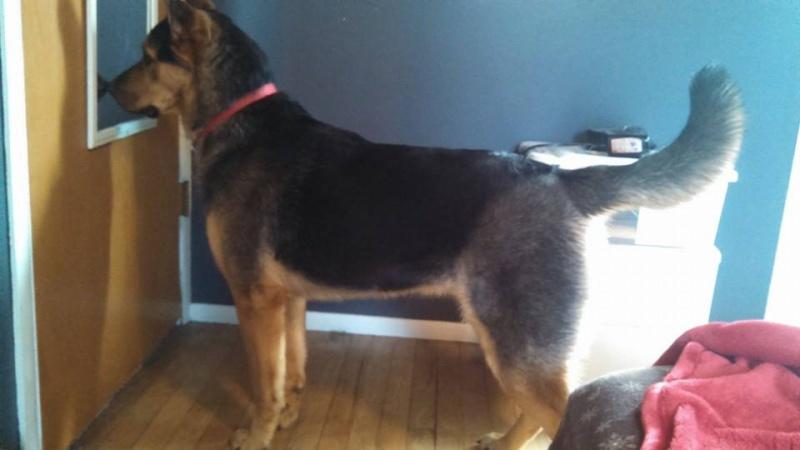 Rottweiler-German Shepherd...and Husky? 10998810