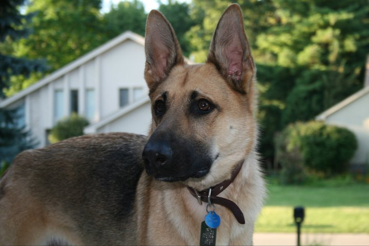 Rottweiler-German Shepherd...and Husky? 30736210