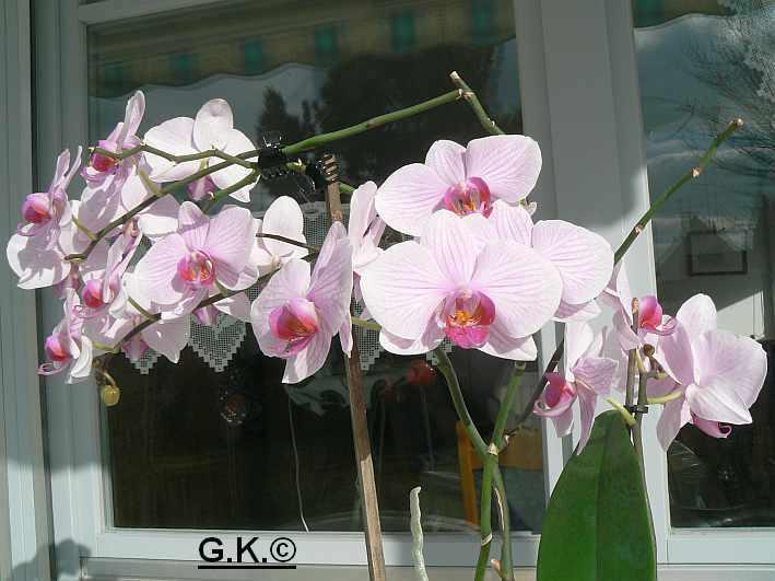 6 Orchideen, aber welche und wie pflege ich sie?? Orchid12