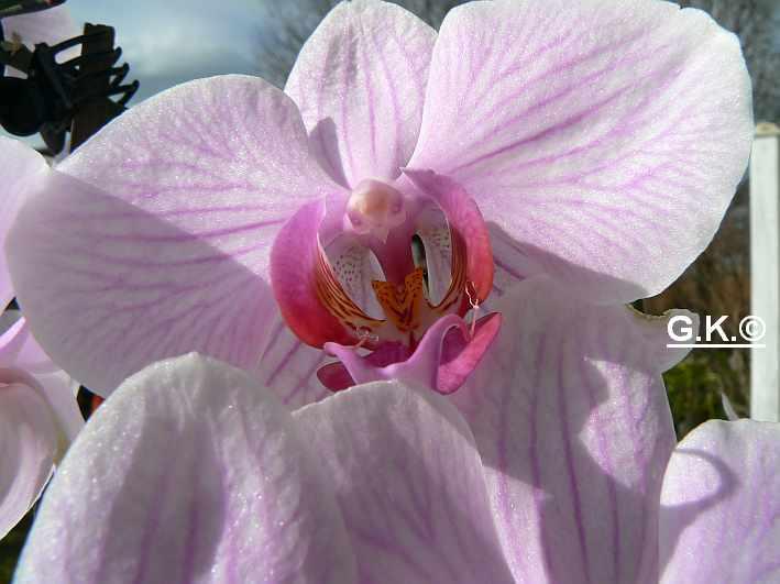 6 Orchideen, aber welche und wie pflege ich sie?? Orchid13