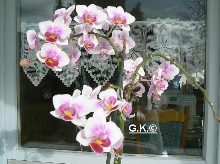 6 Orchideen, aber welche und wie pflege ich sie?? Orchid14